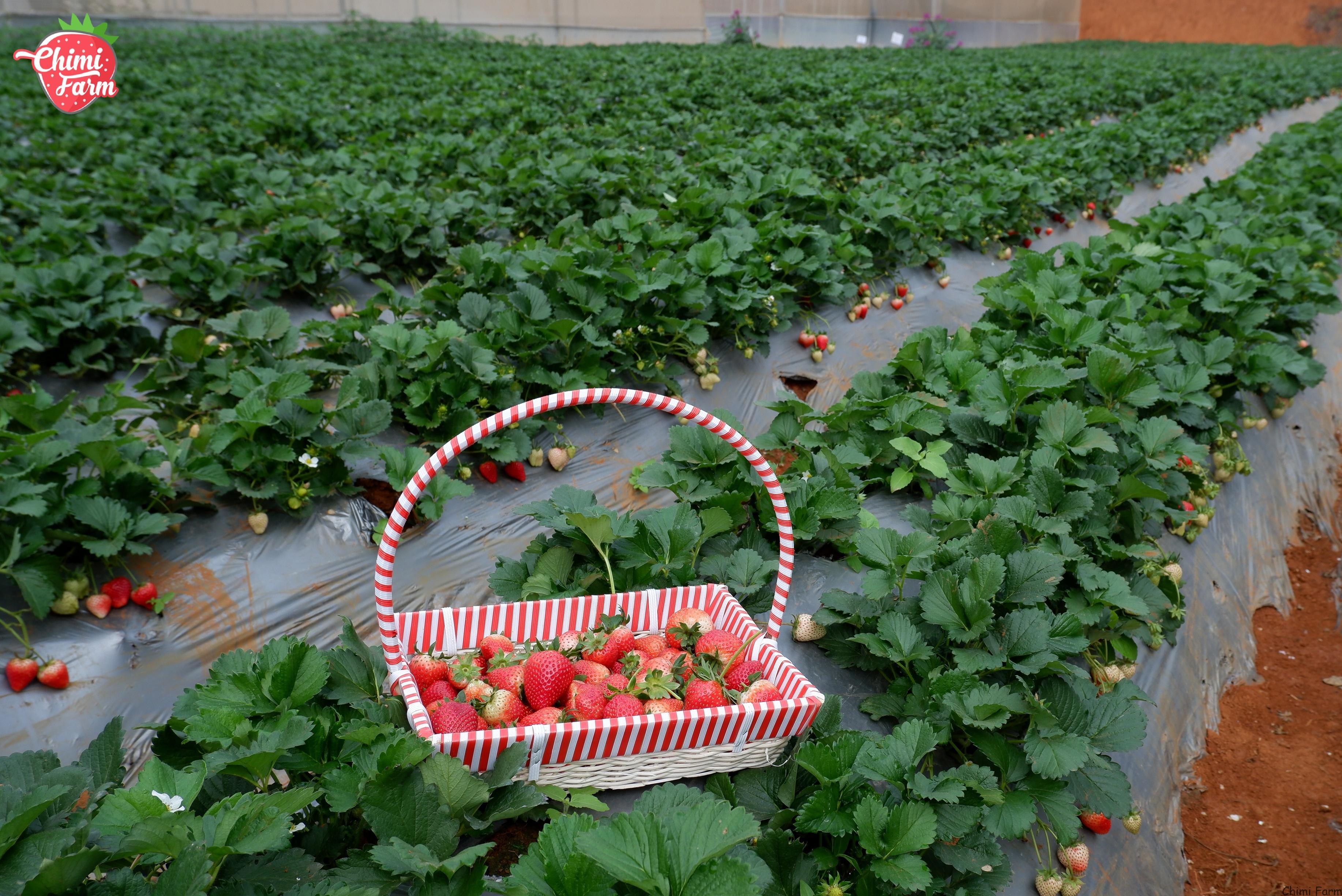 Trang trại dâu tây Chimi với những trái dâu tây chính vụ sai trĩu quả