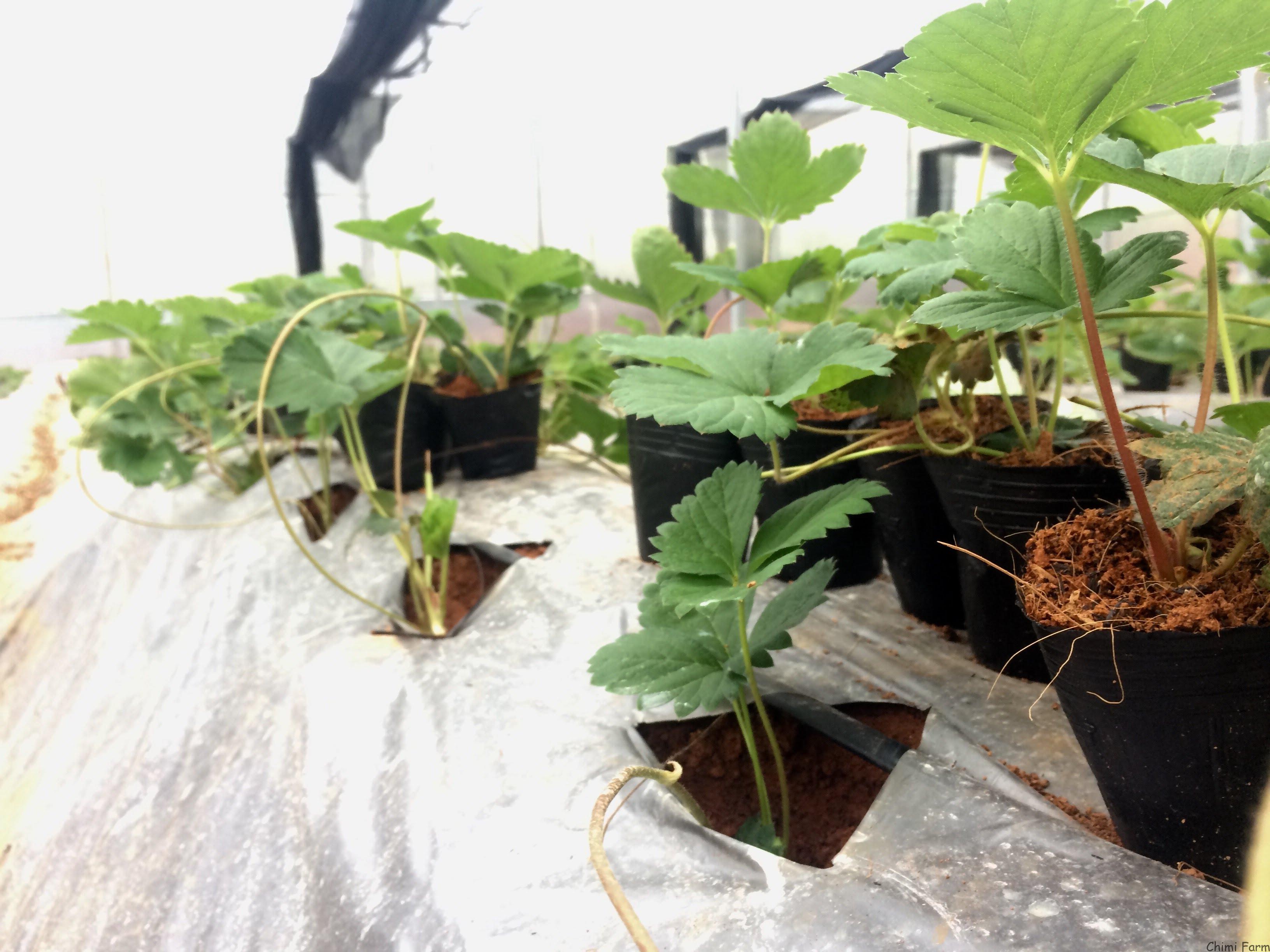 Hướng dẫn cách trồng dâu tây tại Miền Bắc của Chimi Farm