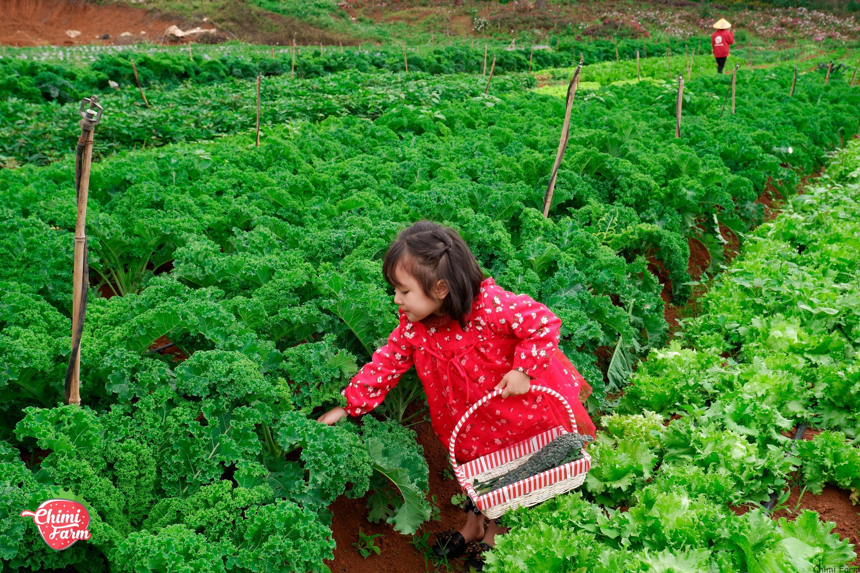 Trong cải kale có chứa vitamin A và nhiều dưỡng chất tốt cho sức khỏe