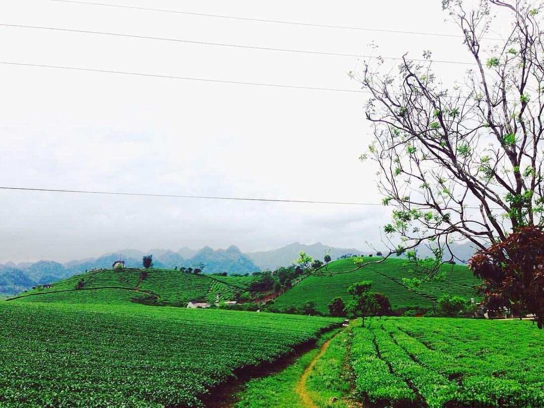 Những đồi chè xanh ngút tầm mắt tại Mộc Châu