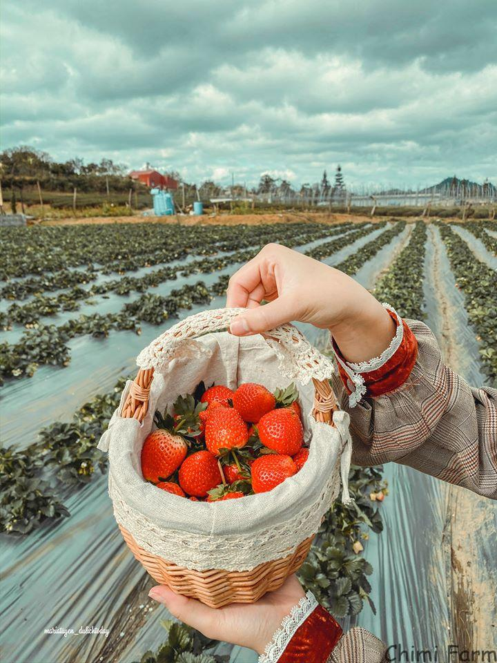 Những trái dâu tây Mộc Châu chín đỏ, căng mọng