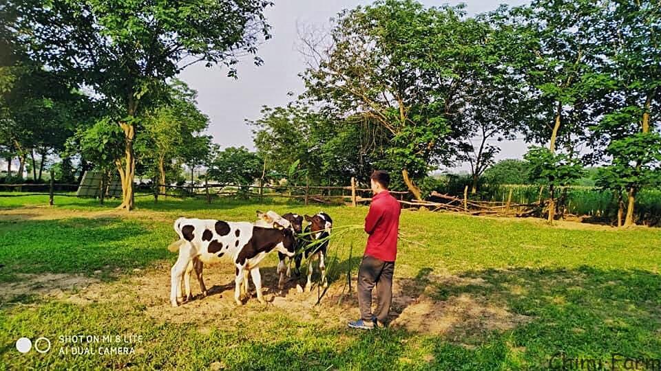 Du khách có thể trải nghiệm tham quan và cho bò sữa ăn cỏ