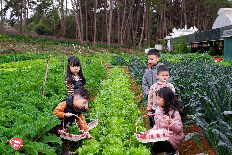 Các em bé sẽ được trải nghiệm hái rau, củ, quả tại Chimi Farm Mộc Châu