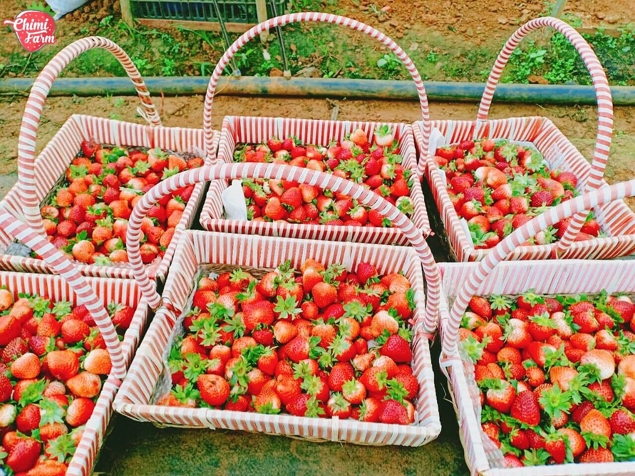 Dâu tây tươi là sản phẩm chính của Chimi Farm