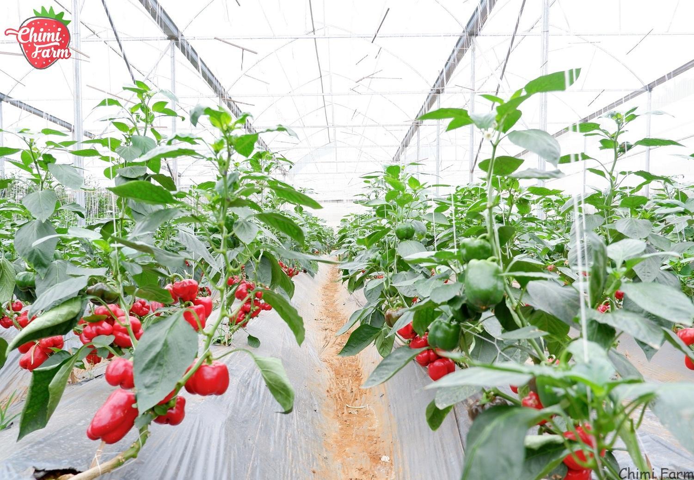 Vườn ớt chuông của Nông trại vui vẻ Chimi tại Mộc Châu