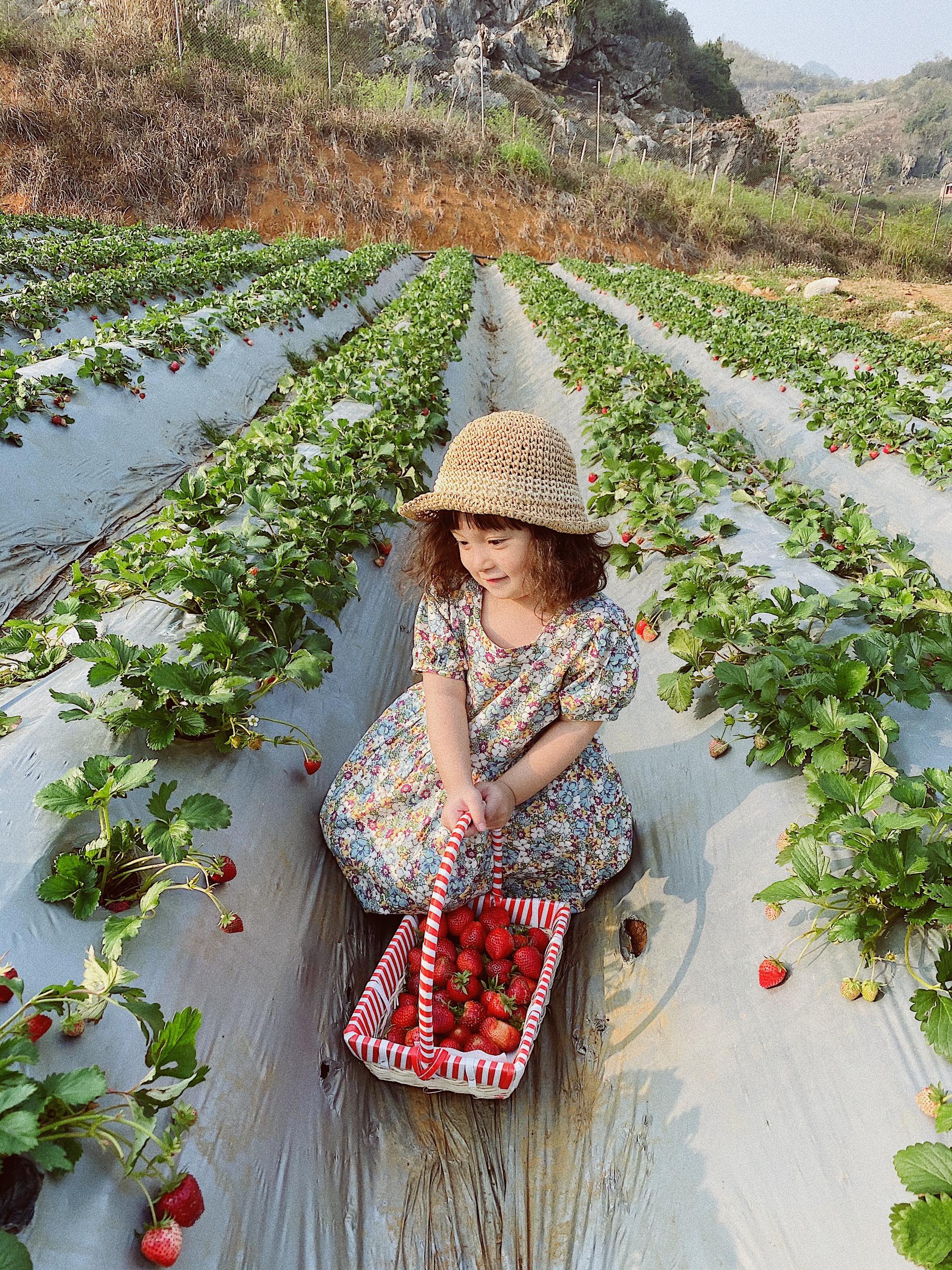Trải nghiệm tự tay hái dâu tây tại Chimi Farm