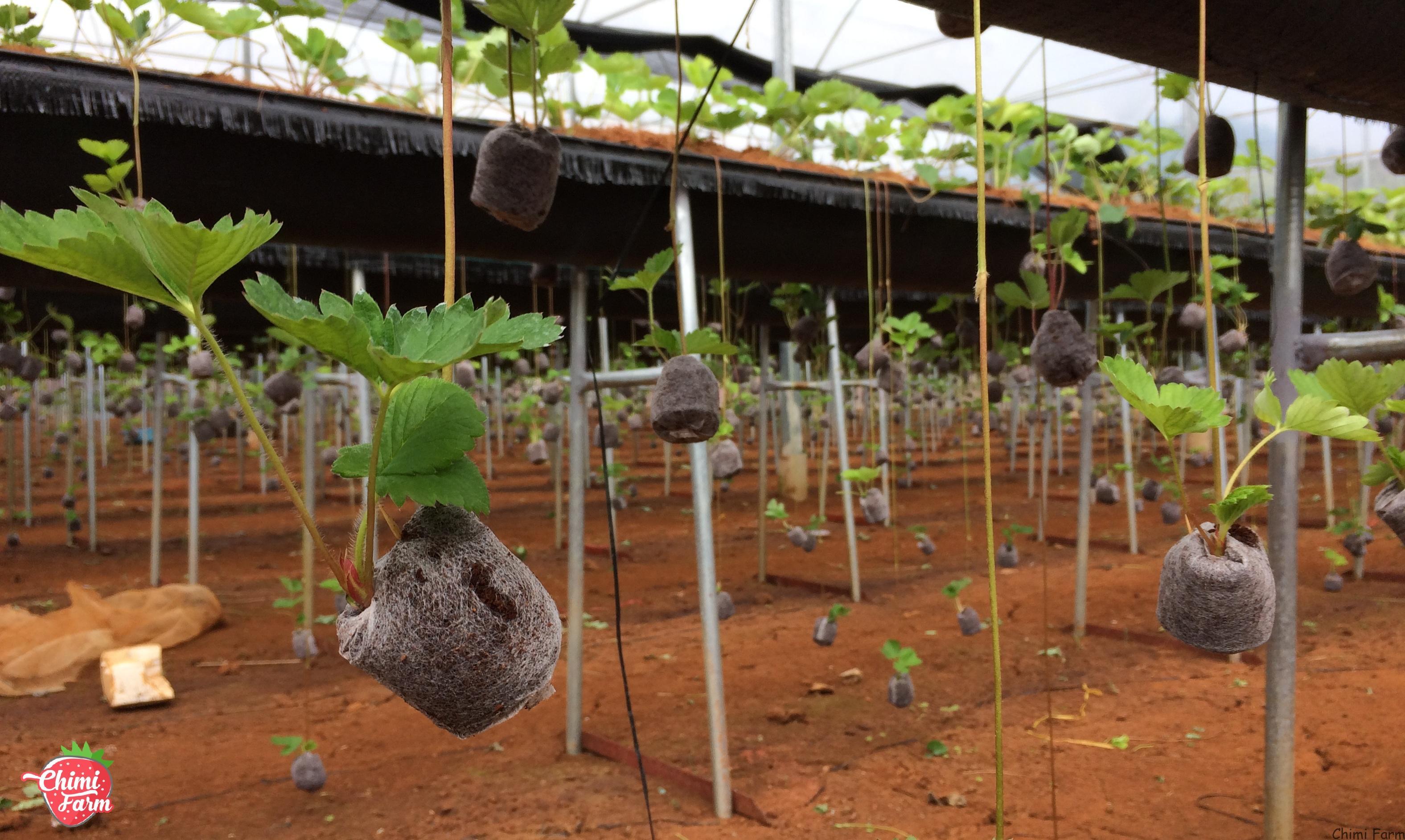 Dâu tây giống của Chimi Farm đều là những cây F1 đảm bảo chất lượng