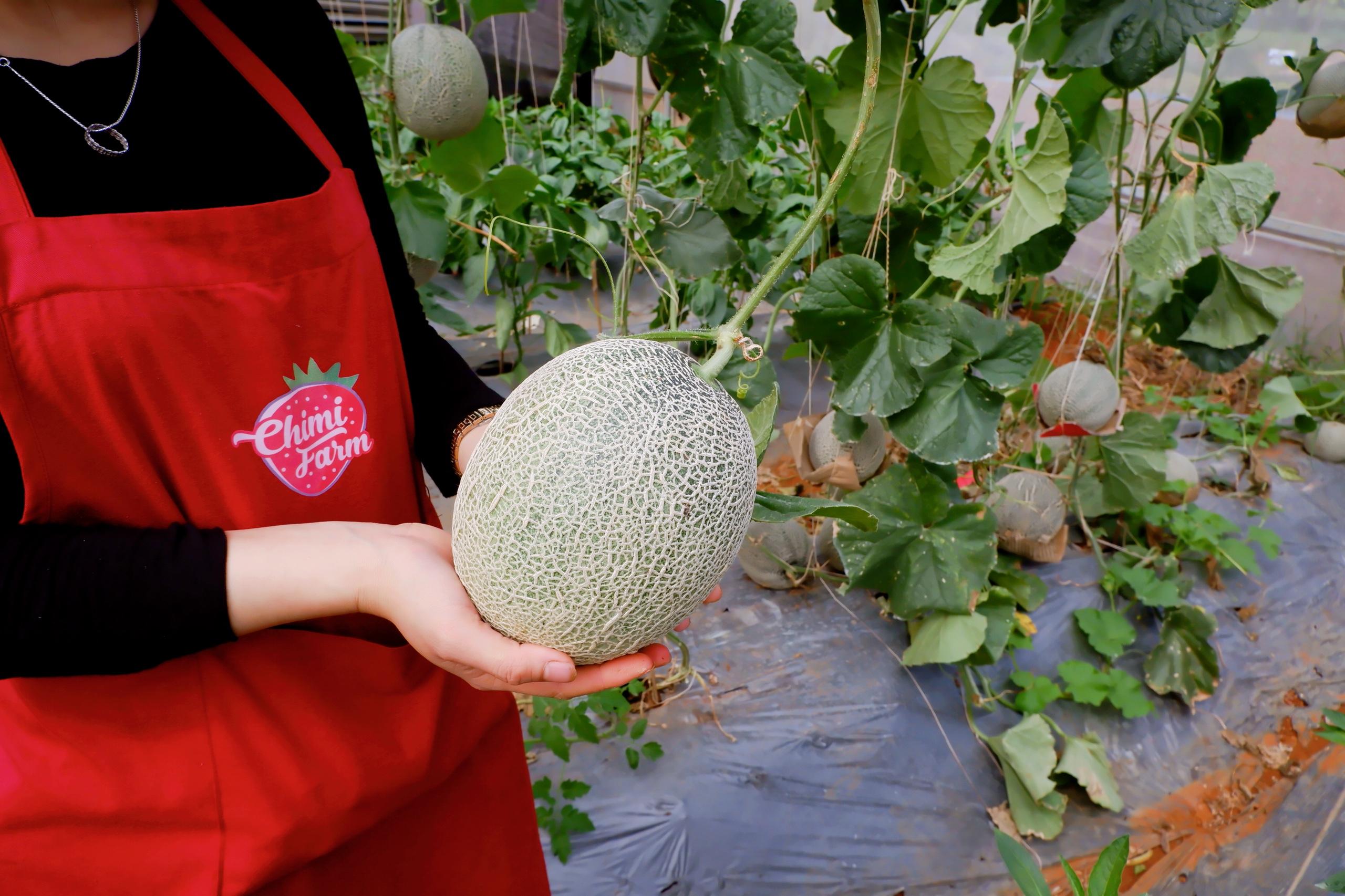Tháng 10 Chimi Farm có dưa lưới Nhật Bản Nagami