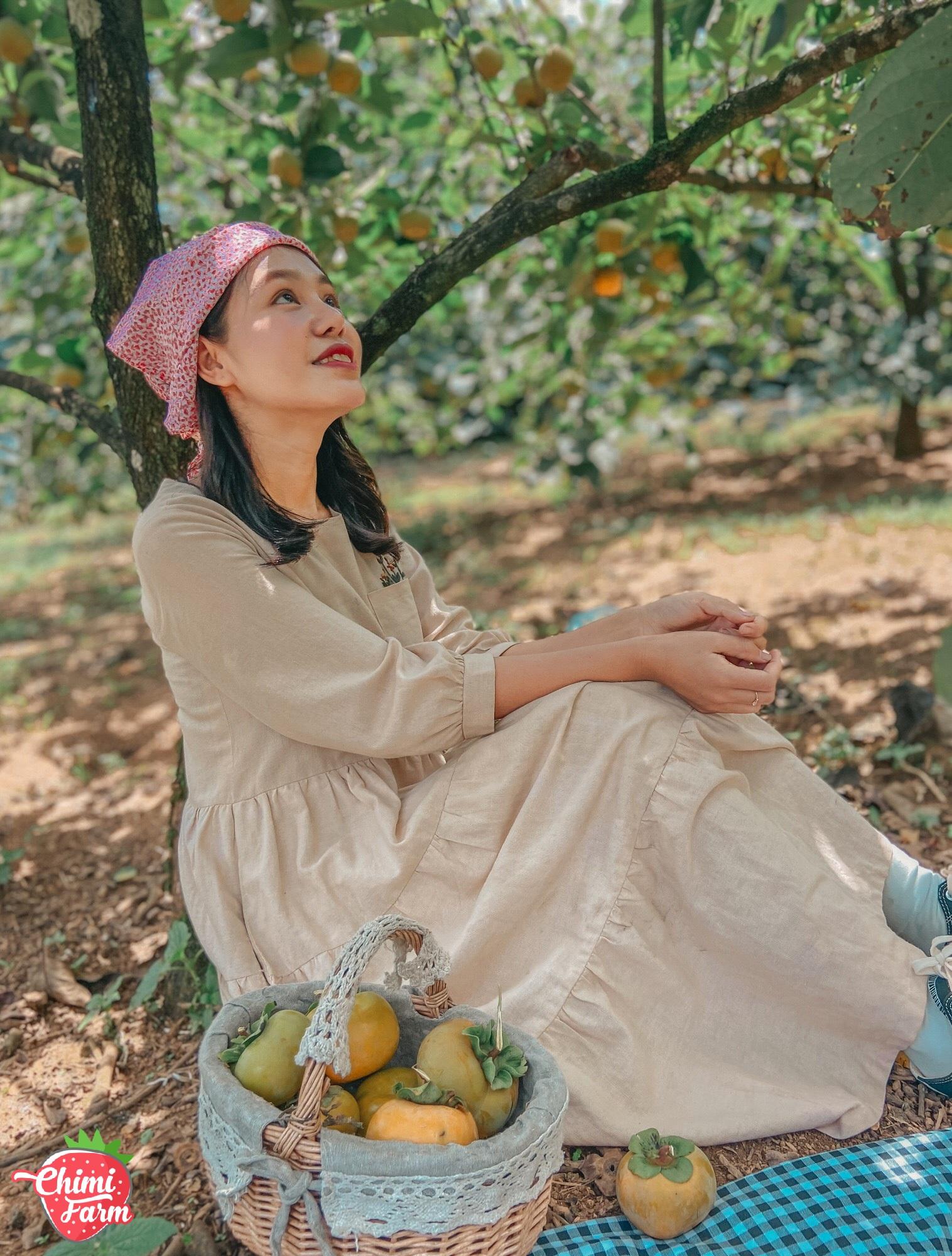 Mùa hồng Mộc Châu sai trĩu quả