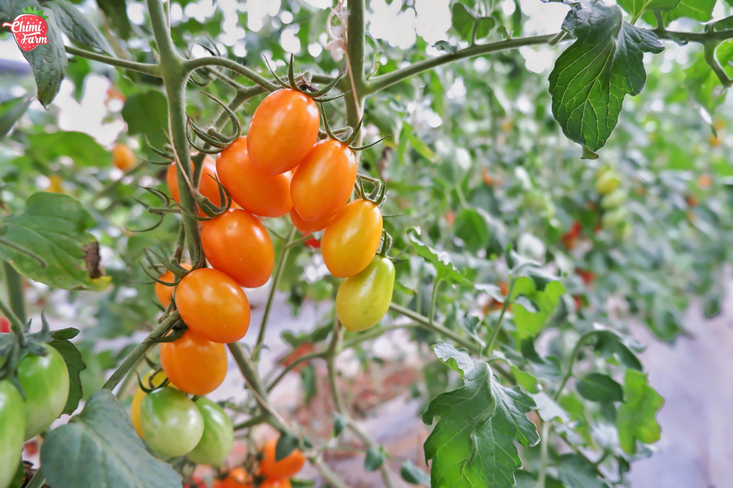 Cà chua cherry của Chimi Farm Mộc Châu