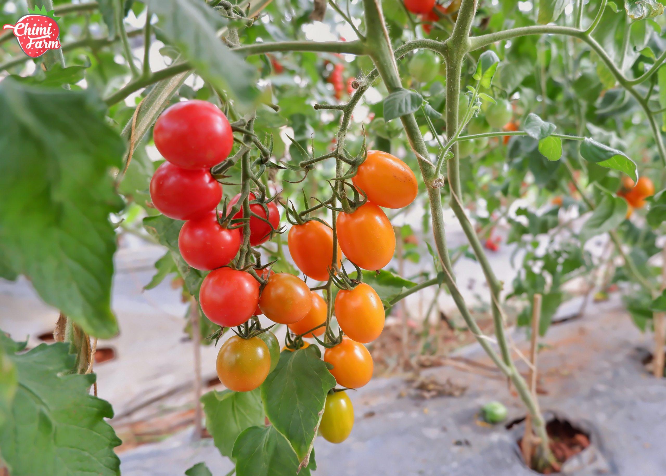 Công dụng của cà chua cherry với sức khỏe