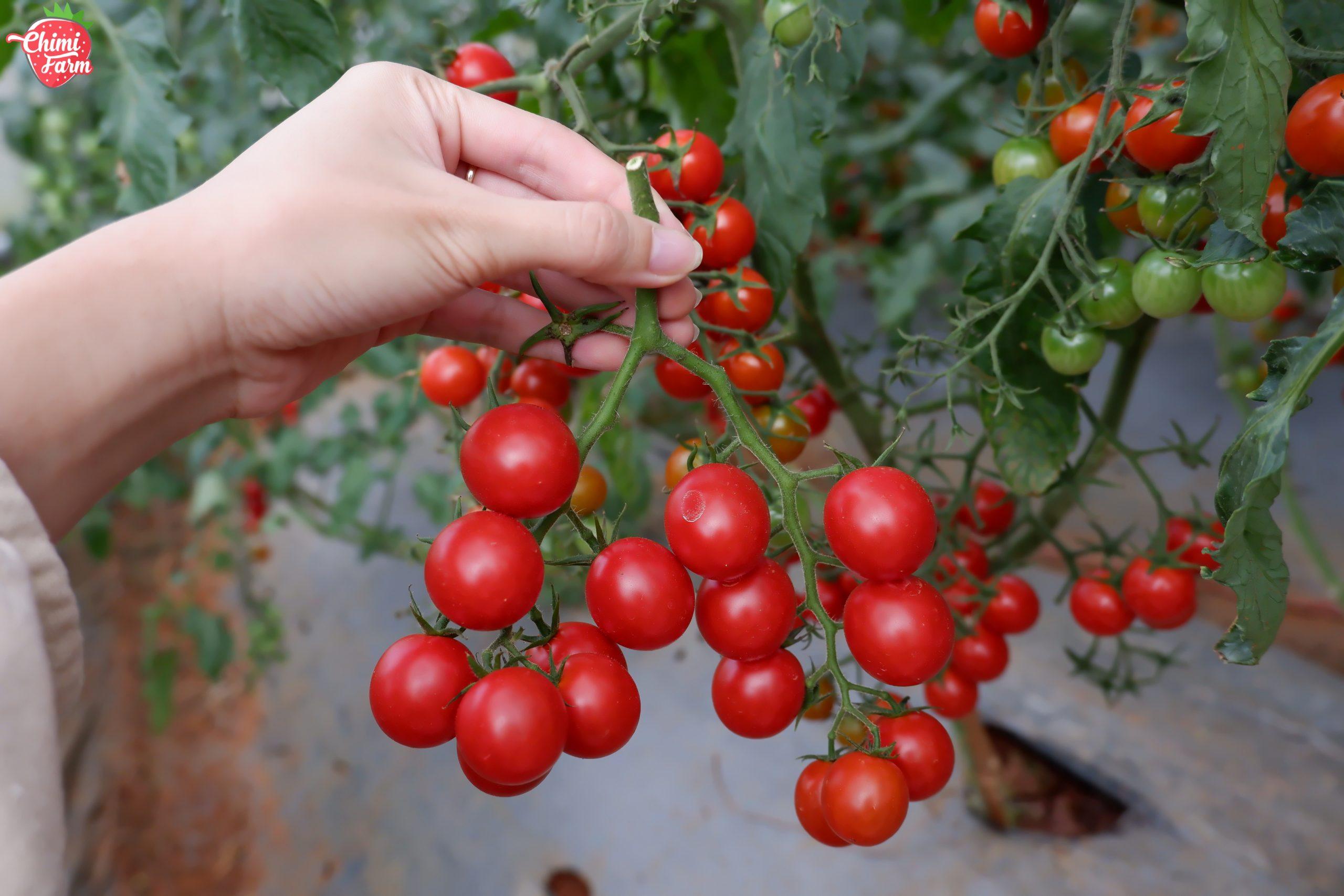 Cà chua còn giúp ngăn ngừa các tế bào ung thư