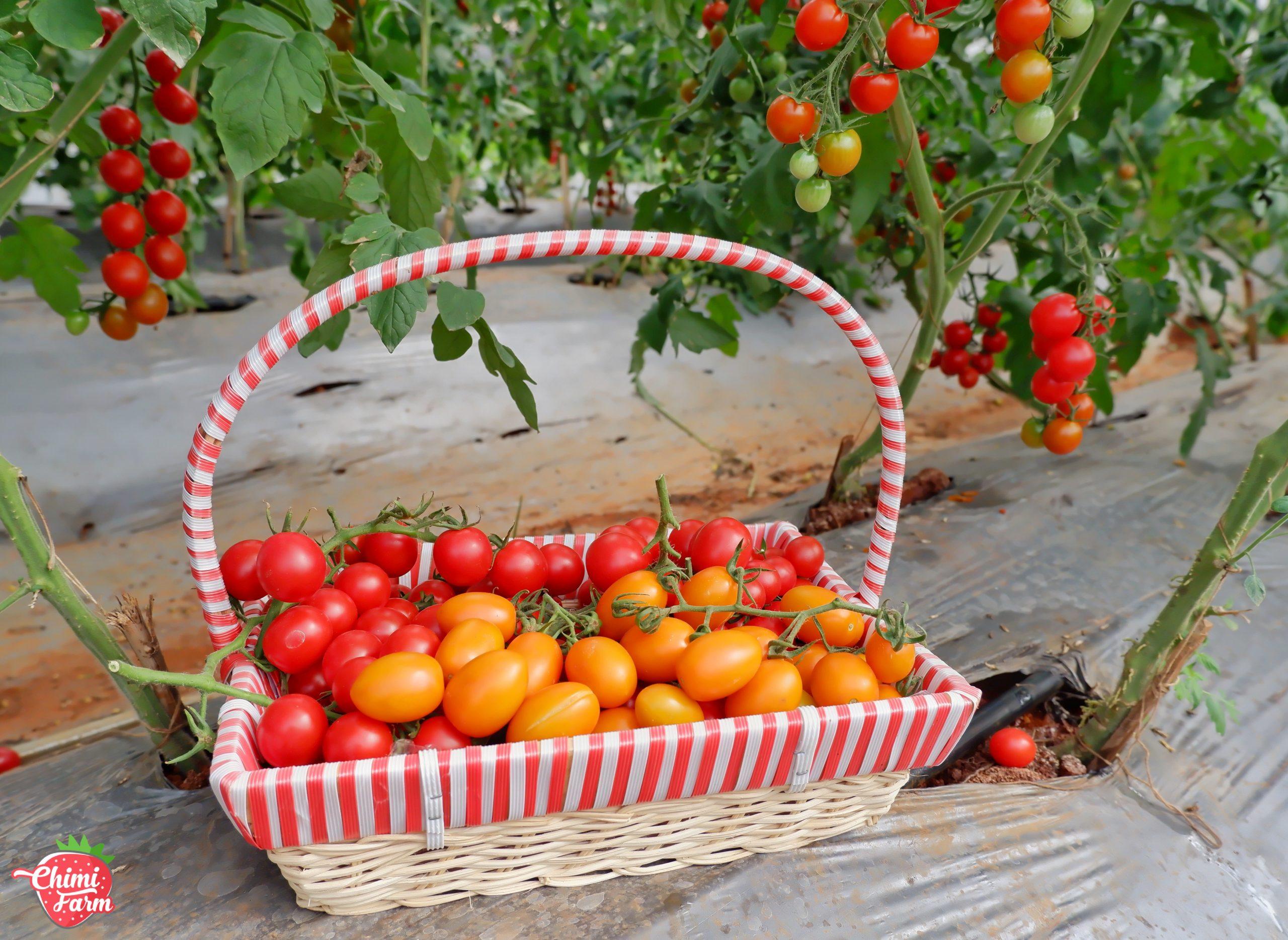 Bạn có thể trải nghiệm hái cà chua cherry tại vườn