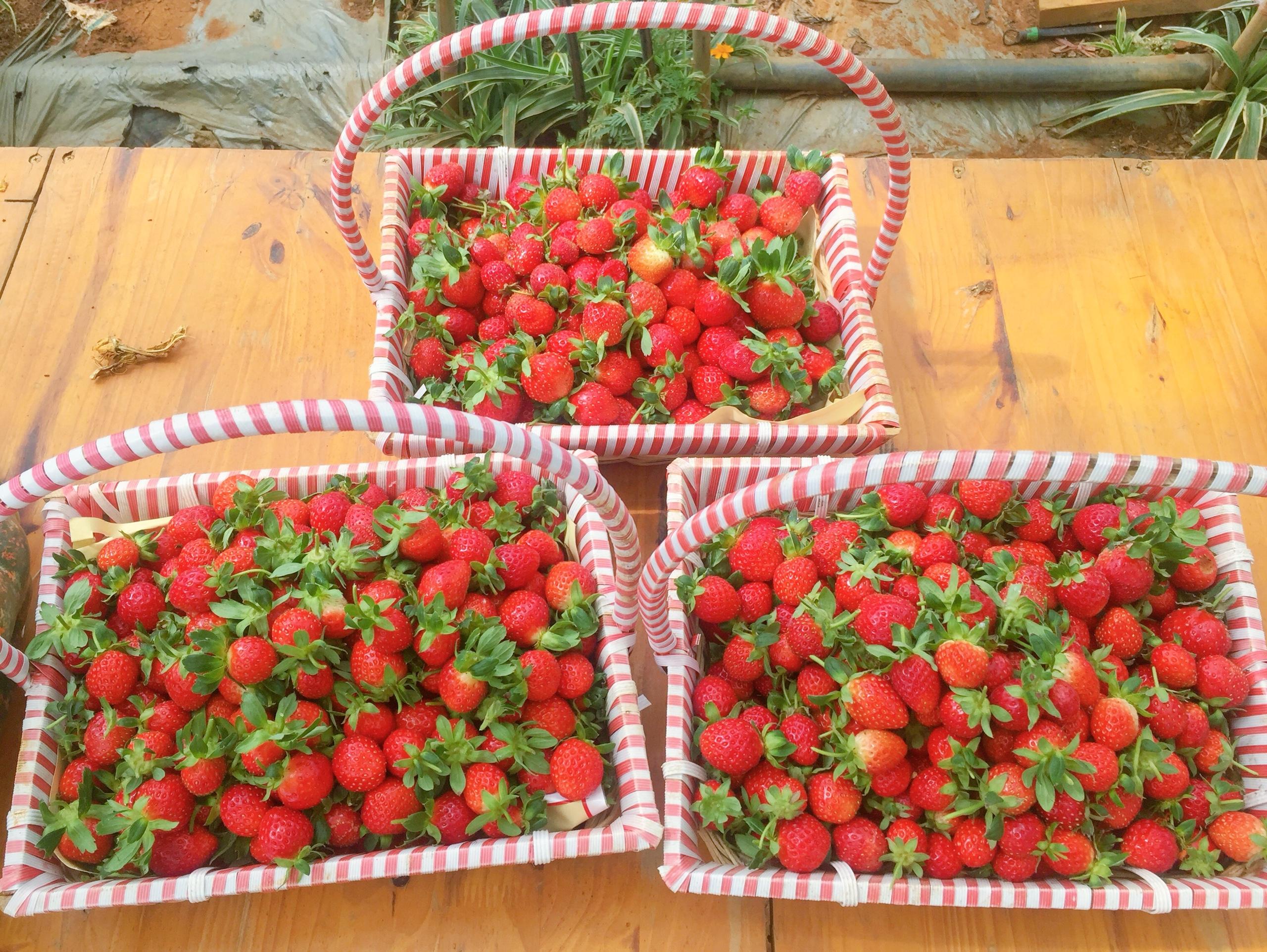 Những giỏ dâu tây chín đỏ mọng do tự tay du khách hái