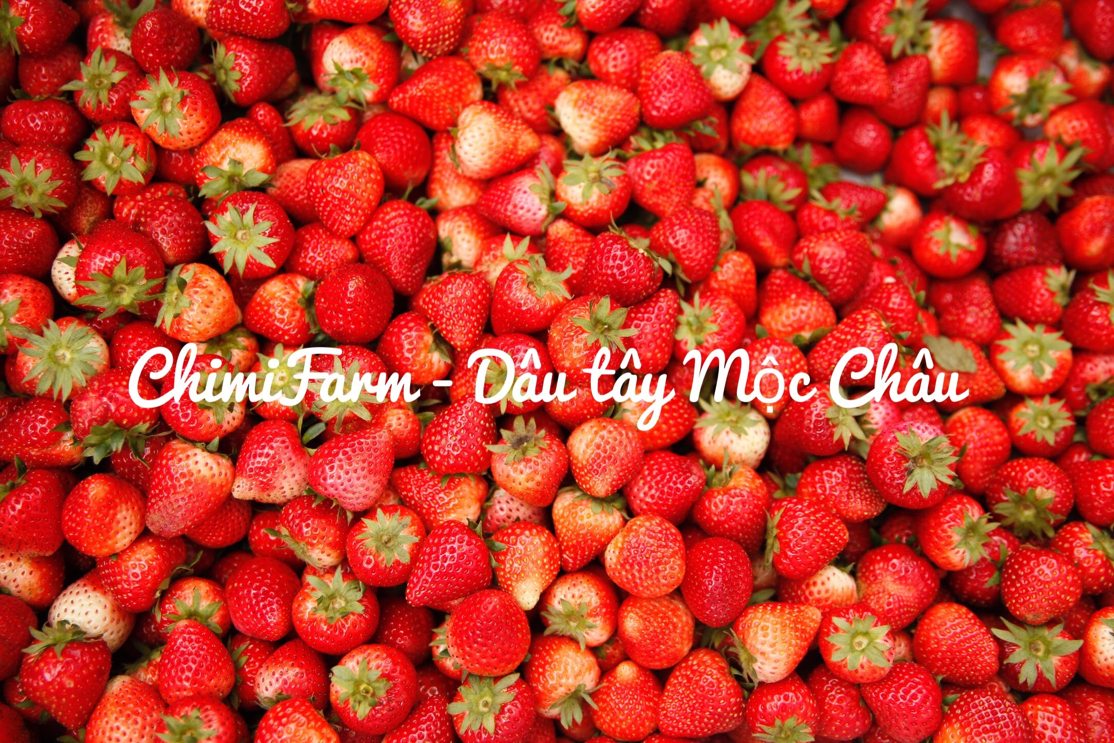Chimi Farm hệ thống trang trại trồng dâu tây lớn nhất Mộc Châu. Liên hệ mua dâu tây 082.989.1110