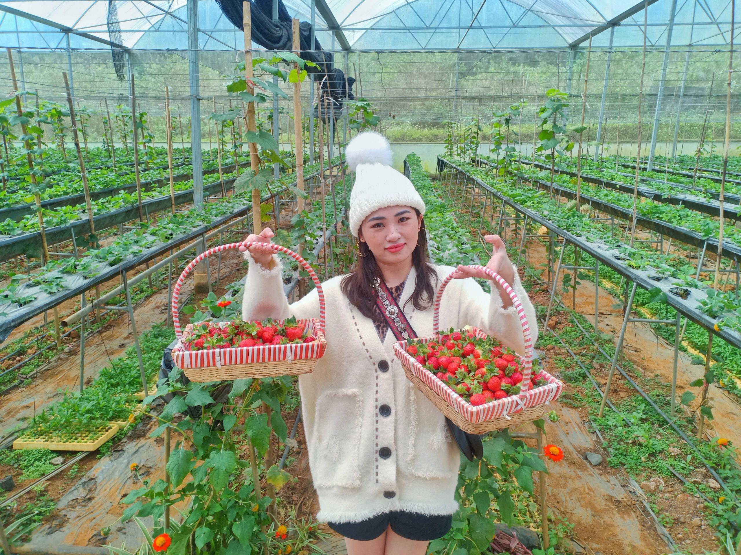 Chimi Farm đã có dâu tây chín đầu vụ tại Mộc Châu