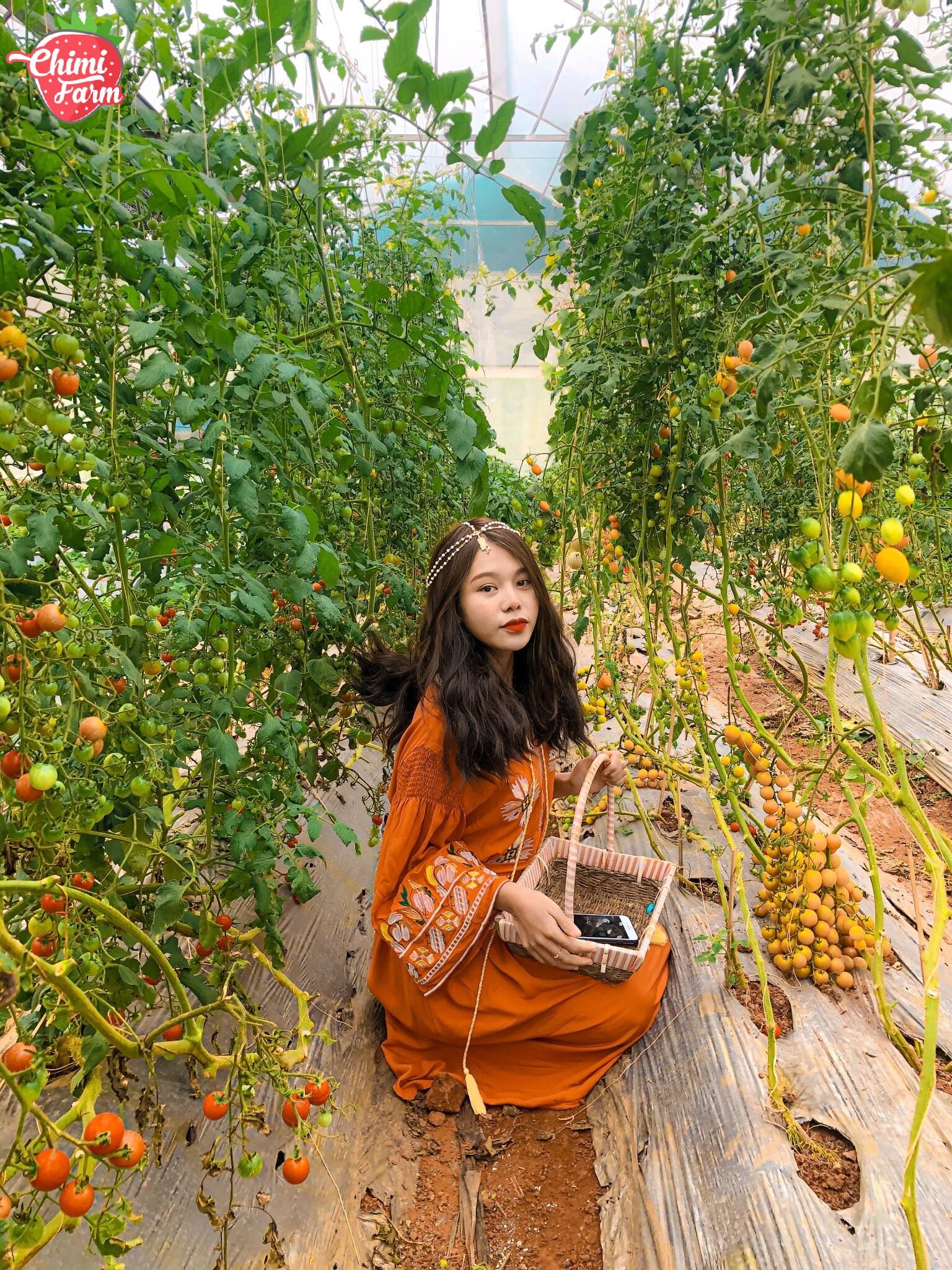 Vườn cà chua là một trong những góc check-in thần thánh của Chimi Farm