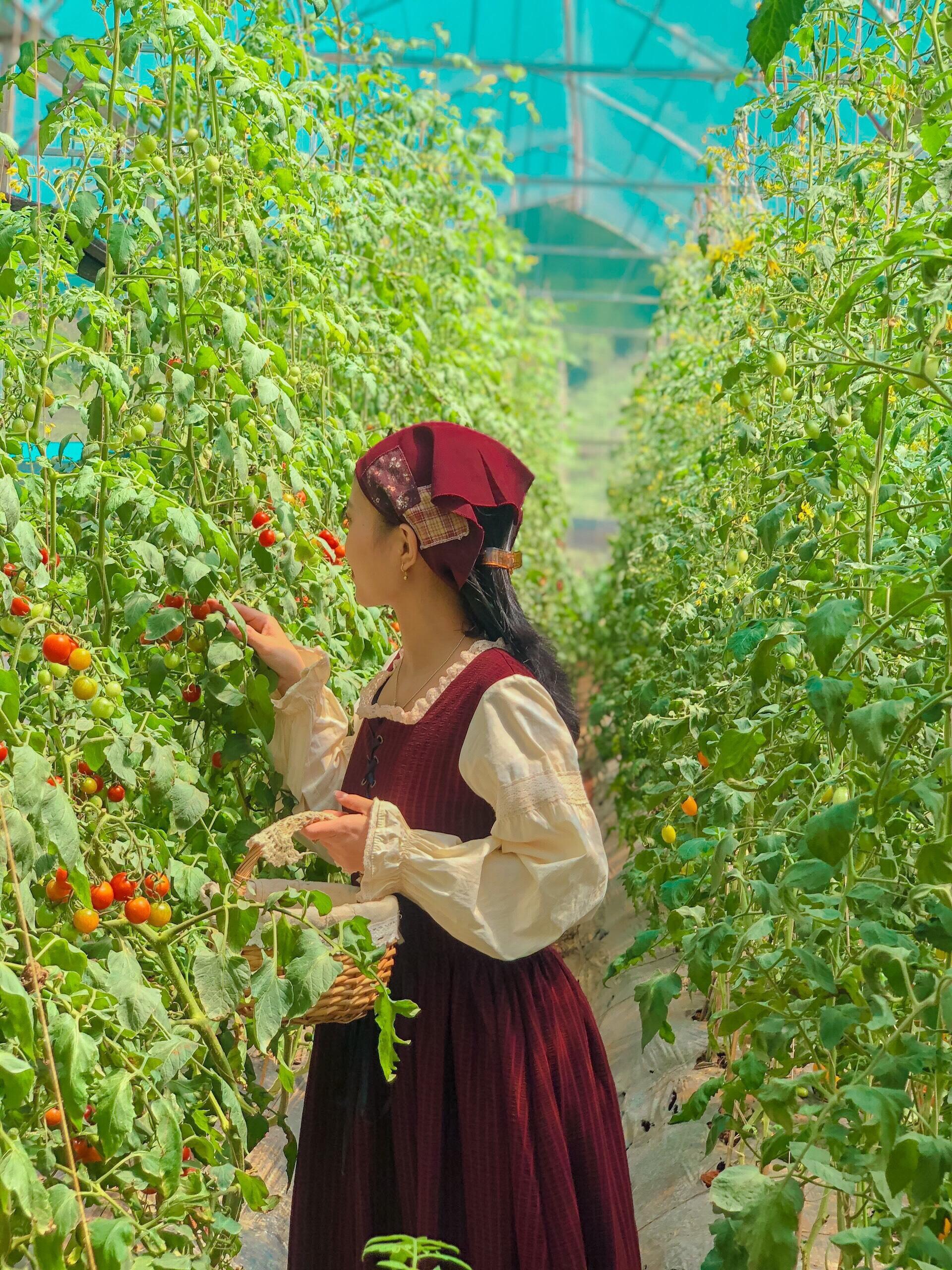 Vườn cà chua cherry sai trĩu quả