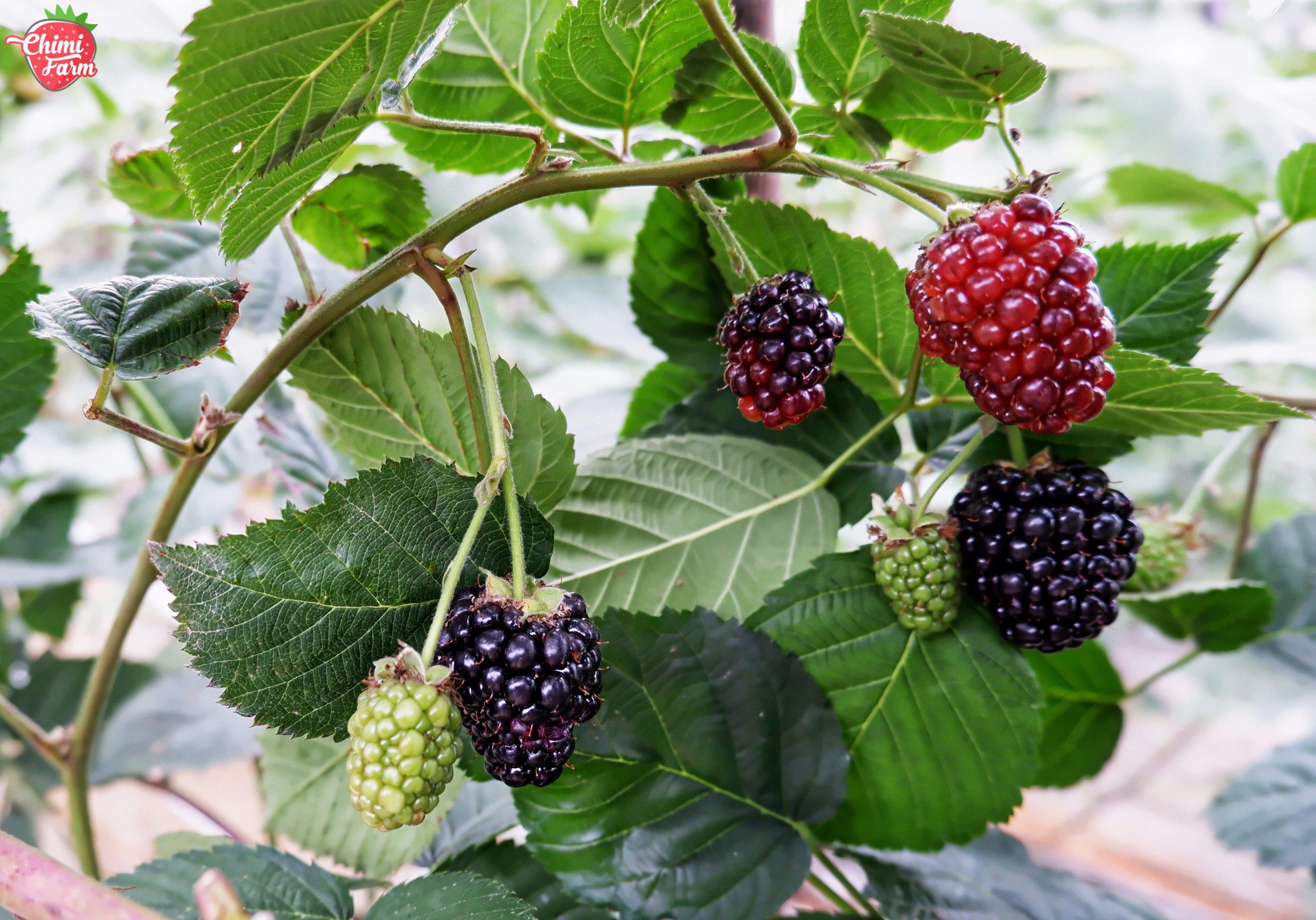 Phúc bồn tử đen – Mâm xôi đen (BlackBerry)