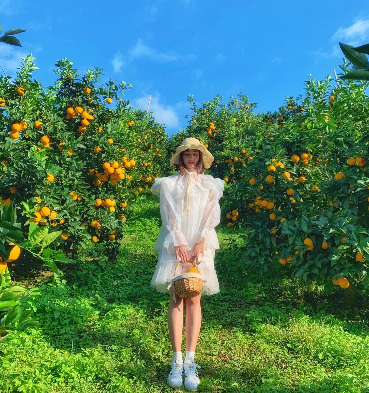 Những vườn cam vàng ruộm đang thu hút rất đông du khách đến chụp ảnh