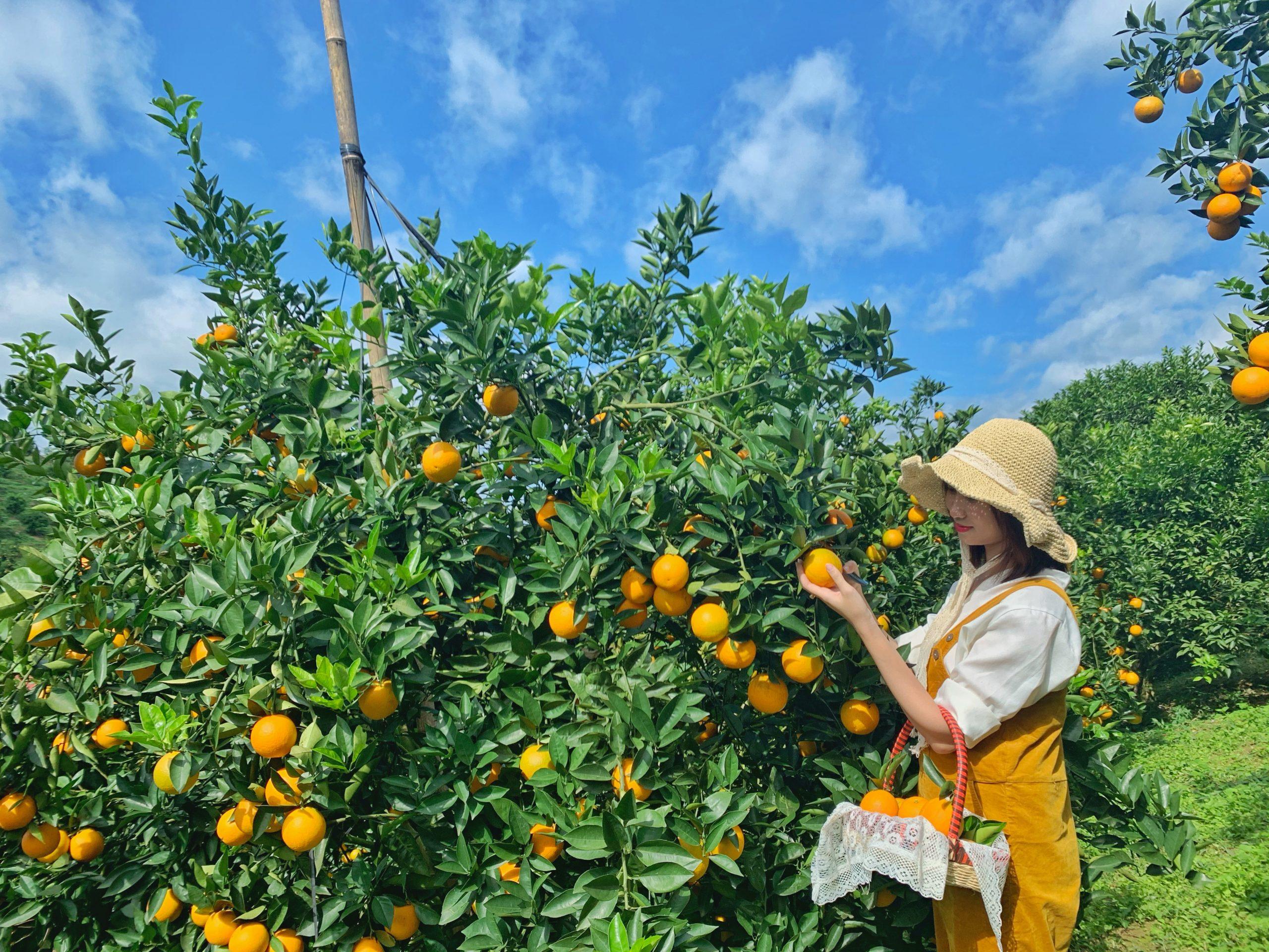 Vườn cam Mộc Châu tháng 11 – Địa điểm sống ảo mới