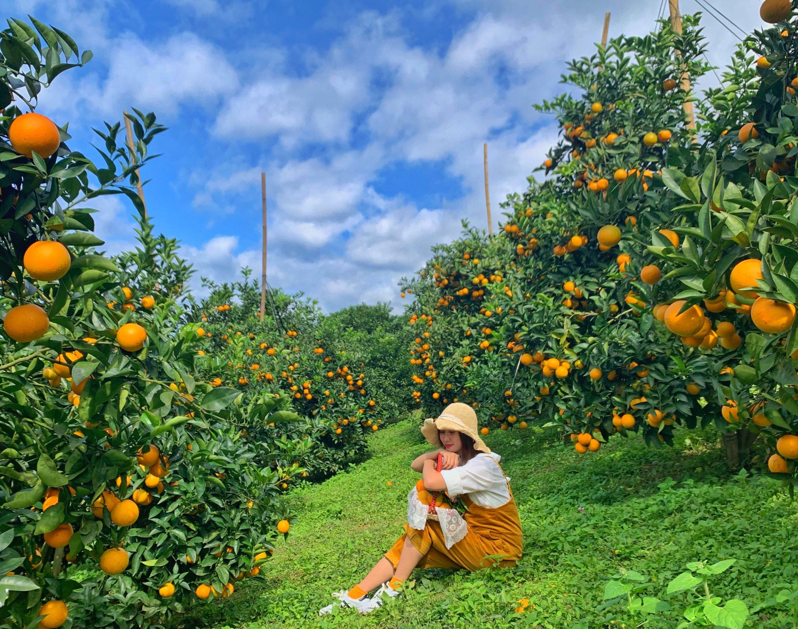 Vườn cam Mộc Châu đang là từ khóa hot trên các nhóm du lịch thời gian gần đây