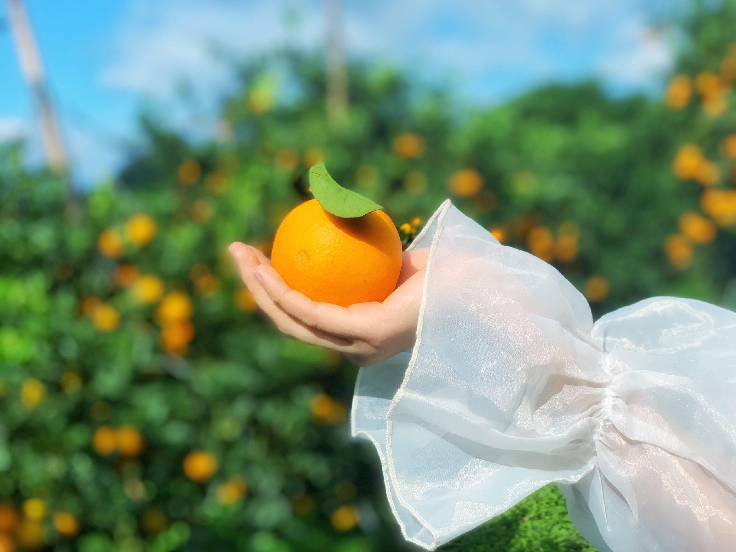 Những trái cam vàng chín mọng