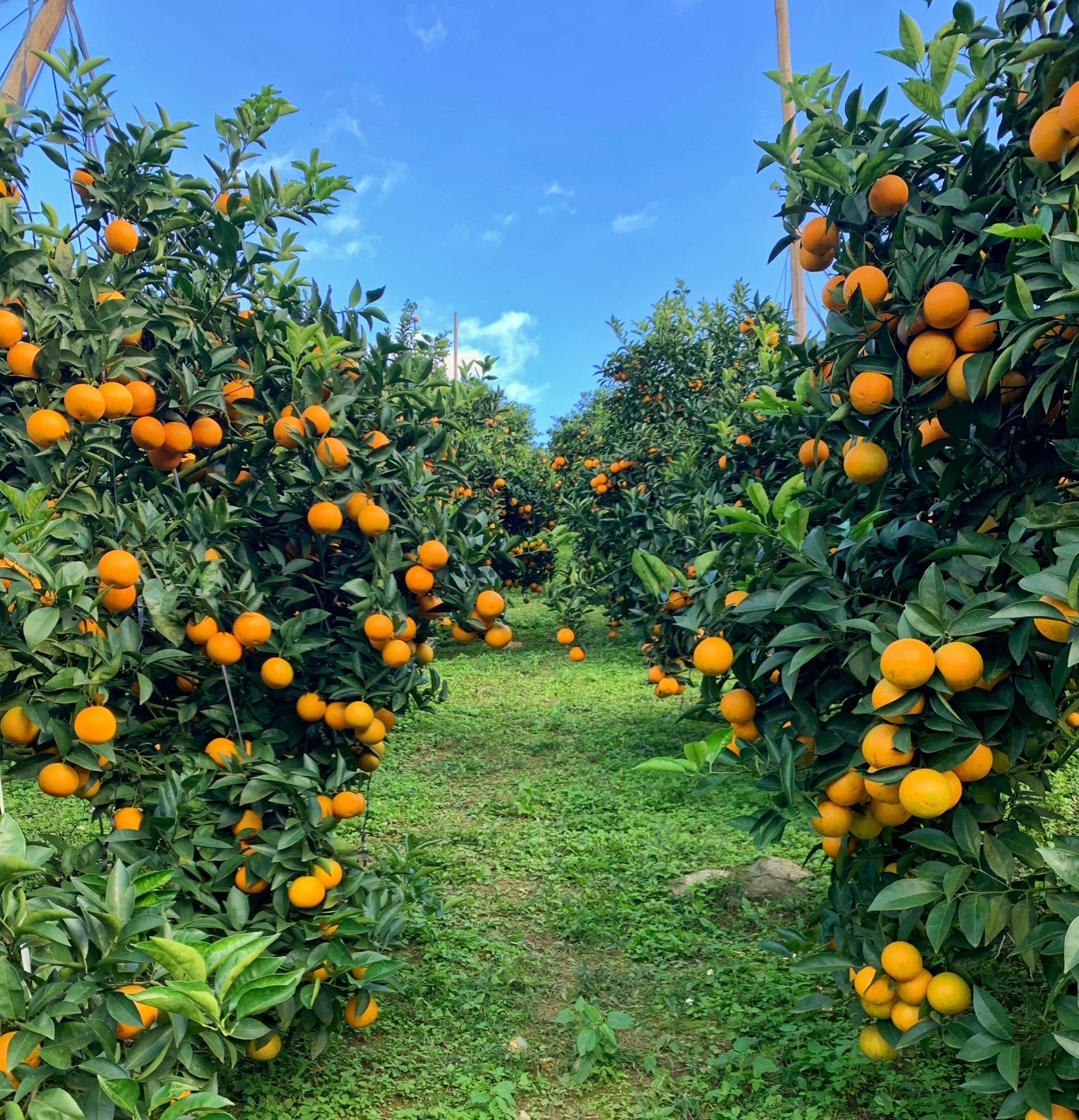 Những vườn cam Mộc Châu đang vào chính vụ sai trĩu quả