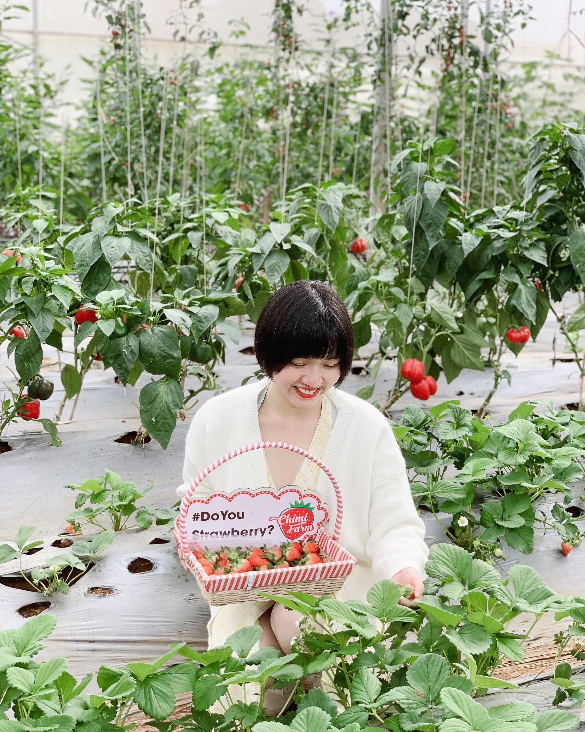 Trải nghiệm hái dâu tây tại vườn của Chimi Farm tháng 12