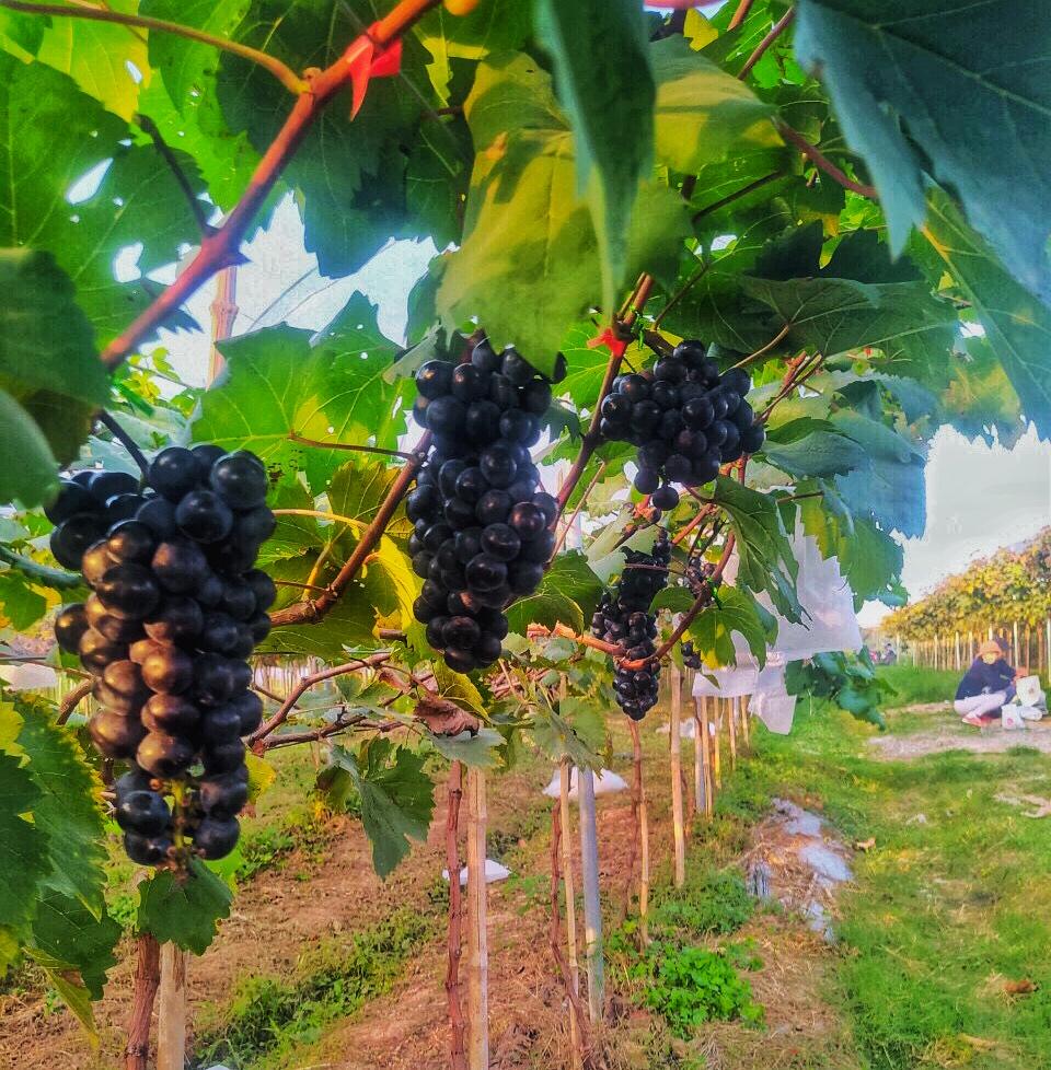 Giống nho hạ đen sai trĩu quả có vị ngọt và thơm như rượu vang
