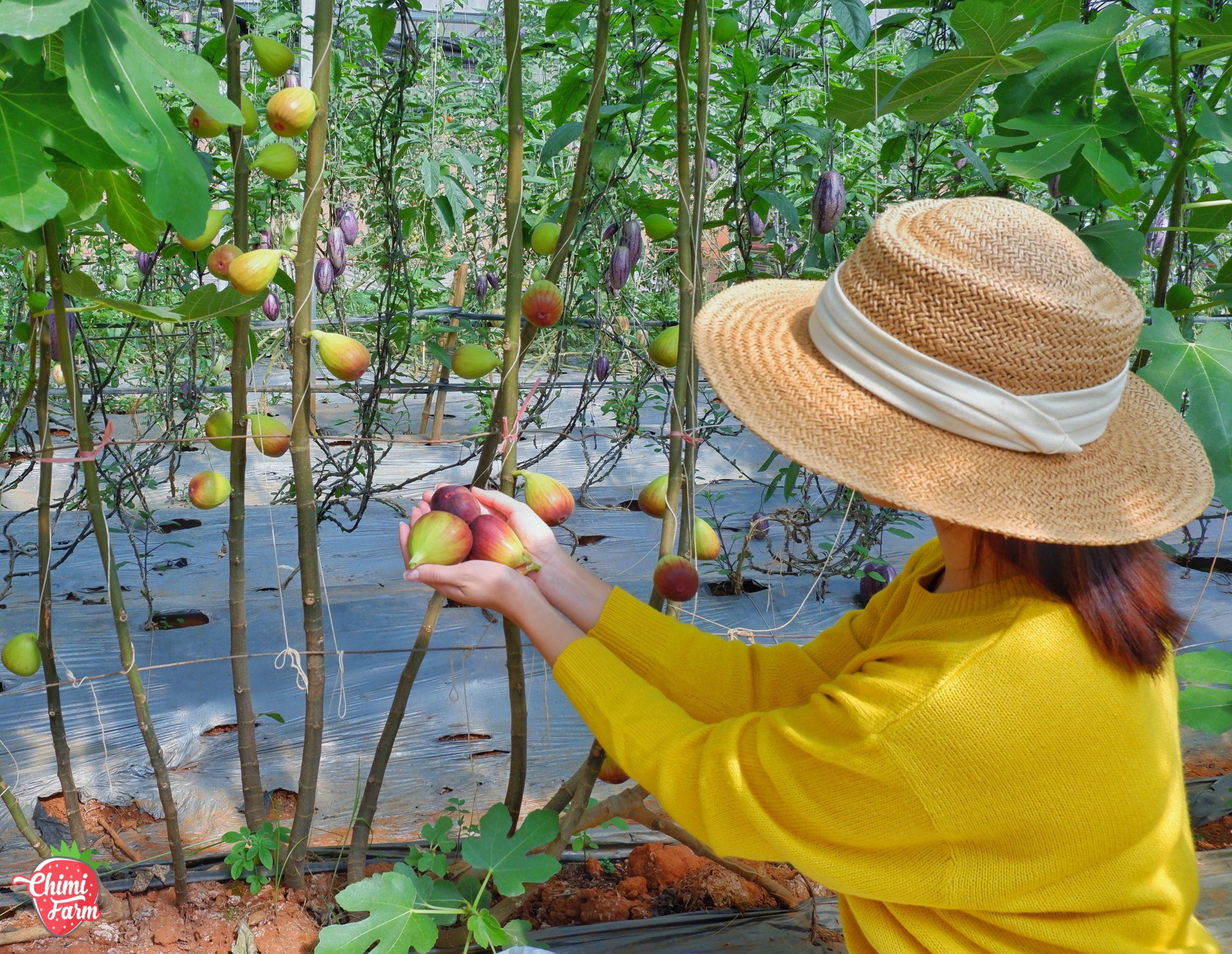 Bạn có thể tự tay hái sung Mỹ tại Chimi Farm 1 Mộc Châu