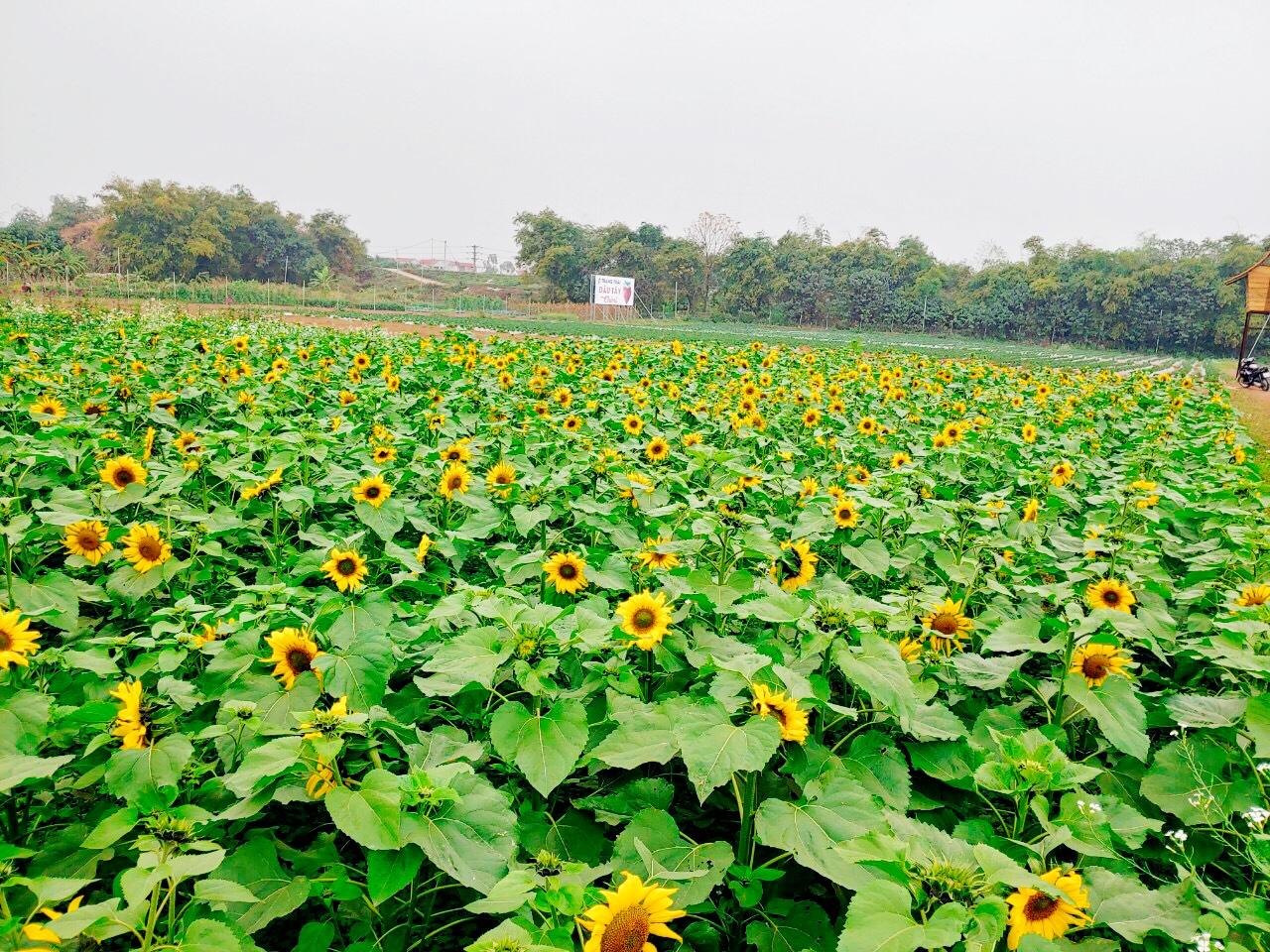 Vườn hoa hướng dương Chimi Farm nở rộ dịp tết âm lịch