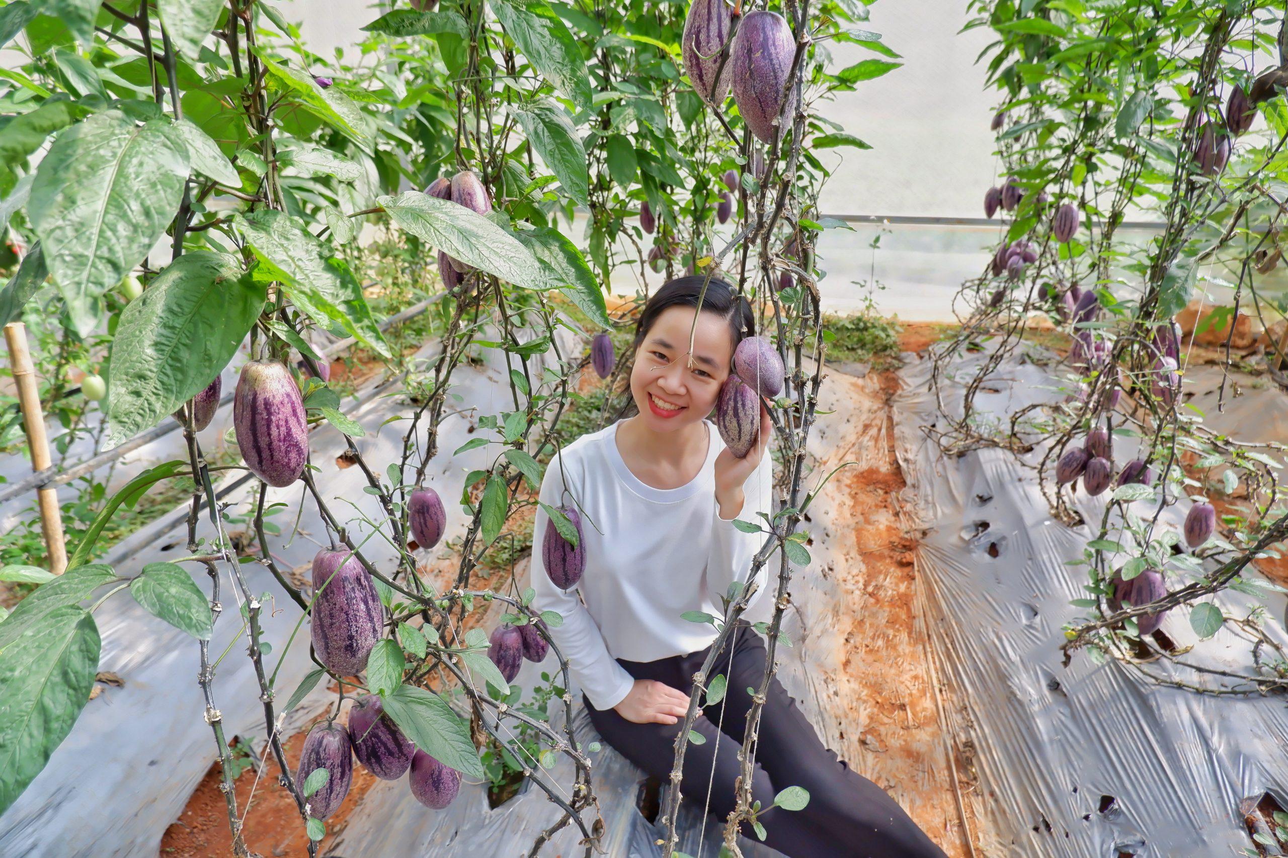 Trải nghiệm thu hoạch dưa pepino ngay tại vườn