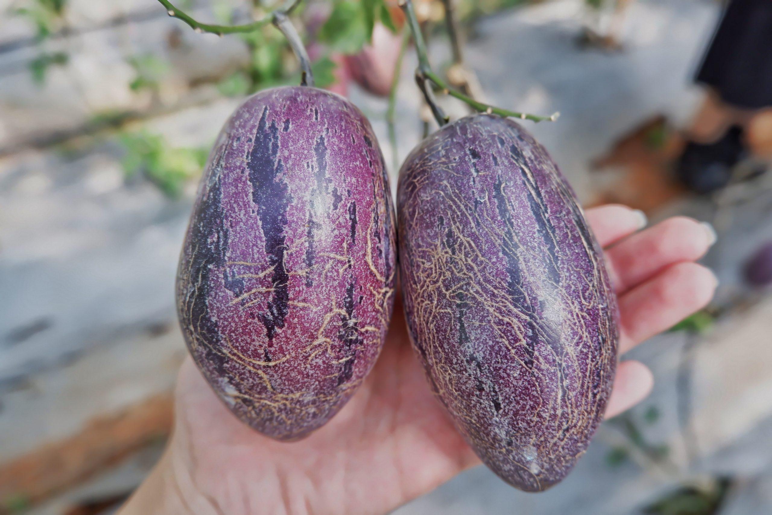 Dưa pepino khi chín có màu đậm hơn
