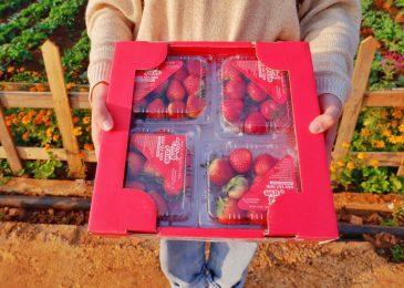 Dâu tây là loại quả đặc sản của cao nguyên Mộc Châu. Mua dâu tây sỉ lẻ 082.989.1110
