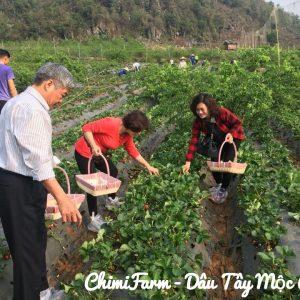 Hái dâu tây Mộc Châu tại Chimi Farm 1