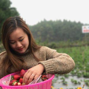Thu hoạch dâu tây