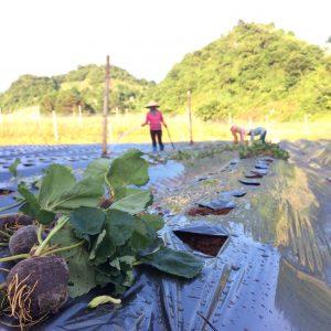 Trồng dâu tây tại Chimi Farm