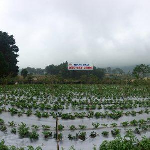 Toàn cảnh khu A của trang trại dâu tây
