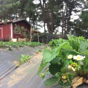 Cây dâu tây ra hoa và đậu trái